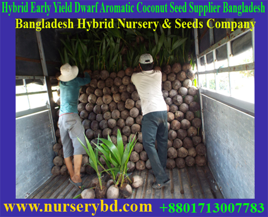 Nurserybd Aromatic Green Dwarf Coconut Seedling Plant Supplier