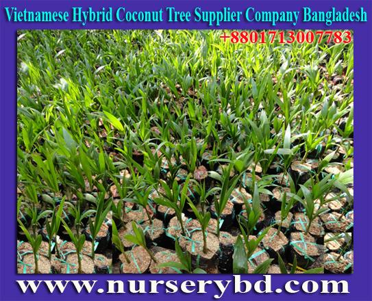 Vietnamese Dwarf Hybrid Coconut Tree