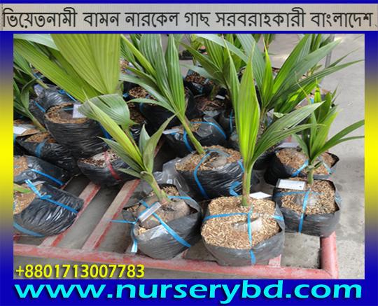 Early Yeild Coconut Seedling