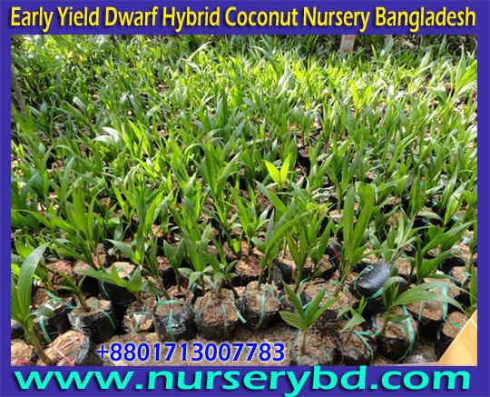 Desh Hybrid Coconut Nursery Seeds Company