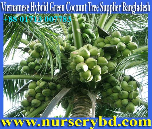 Nurserybd :: Hybrid Coconut Gallery, Hybrid Coconut Nursery, Hybrid
